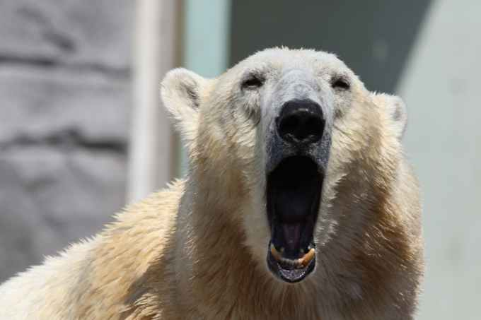 A Polar Bear with its mouth wide open, roaring, teeth visible